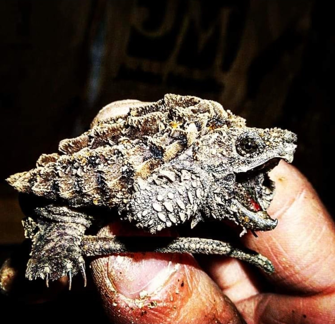 Baby Aligator Snapping Turtle
